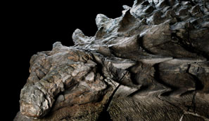 The Dinosaur Fossil from Cretaceous Canada image